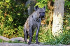 特写镜头站立在岩石中的一条被察觉的鬣狗的画象图象 免版税图库摄影