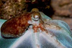 特写镜头章鱼 库存照片
