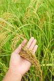 特写镜头米在手边在稻 免版税库存图片