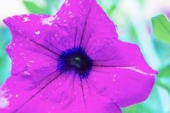特写镜头紫色喇叭花宏观摄影  免版税库存图片