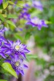 特写镜头紫色铁线莲属在庭院里开花室外 免版税图库摄影
