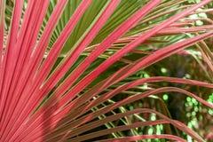 特写镜头红色和绿色棕榈树叶子 图库摄影