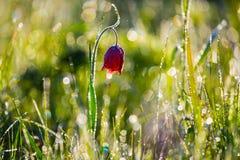特写镜头红色干草原花在水中滴下 免版税库存图片