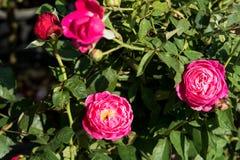 特写镜头红色玫瑰在树,甜爱概念,拉丁文的概念,宏观图象开花 免版税图库摄影