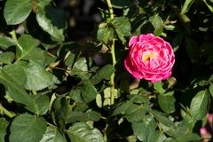 特写镜头红色玫瑰在树,甜爱概念,拉丁文的概念,宏观图象开花 库存图片