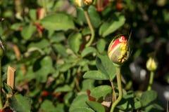 特写镜头红色玫瑰在树,甜爱概念,拉丁文的概念,宏观图象开花 库存照片