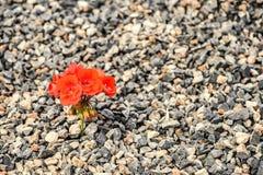 特写镜头红色花卉生长从石渣 生命概念和刺激 奋斗为生活 免版税图库摄影