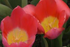 特写镜头红色郁金香花在庭院里 库存照片