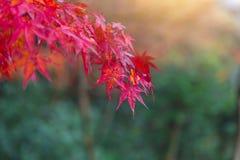 特写镜头红颜色枫叶在庭院秋天在京都日本 库存图片