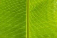 特写镜头线纹理香蕉离开背景 香蕉叶子各种各样的用途 我 免版税库存图片