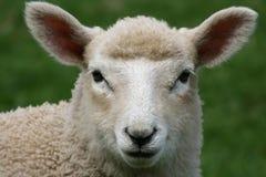 特写镜头绵羊 免版税库存图片