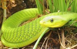 特写镜头绿眼镜蛇蛇 免版税库存图片