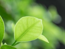 特写镜头绿色叶子自然视图在庭院里在sunl下的夏天 图库摄影