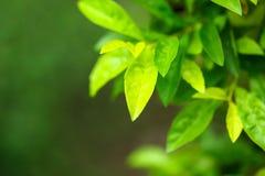 特写镜头绿色叶子自然视图在庭院里在sunl下的夏天 库存图片