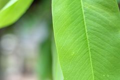 特写镜头绿色叶子自然视图在被弄脏的绿叶背景的在庭院里 免版税库存图片