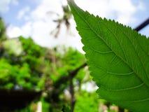 特写镜头绿色叶子自然视图在被弄脏的绿叶背景的在有拷贝空间的庭院里使用当背景自然绿色 免版税库存图片