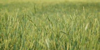 特写镜头绿色年轻人调遣麦子全景,农村乡下 库存照片