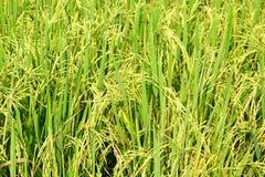 特写镜头绿色米领域 免版税图库摄影