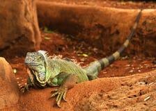 特写镜头绿色鬣鳞蜥 免版税库存图片