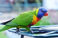 特写镜头美丽的五颜六色的澳大利亚当地鸟,彩虹Lorikeet 免版税库存图片