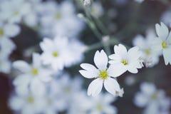 特写镜头美丽的白色麦在白天被弄脏的背景开花 免版税库存图片