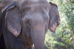 特写镜头老大象面孔在森林里 库存图片