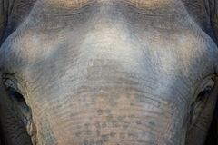 特写镜头老大象面孔在森林里 图库摄影