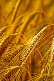 特写镜头耳朵麦子 免版税库存照片