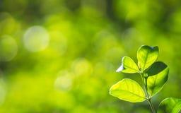 特写镜头自然新鲜的绿色树在被弄脏的bokeh绿叶背景离开在庭院 与拷贝的绿色自然墙纸概念 库存照片