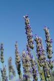 特写镜头花熏衣草属淡紫色 库存图片