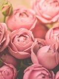 特写镜头苍白牡丹玫瑰 选择聚焦,不可思议的光,淡色 库存图片