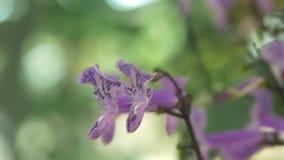 特写镜头莫娜与绿色叶子背景defocus的淡紫色花  股票视频