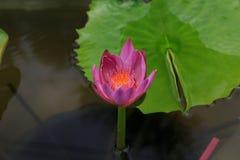 特写镜头莲花,美丽的莲花弄脏了或迷离软的焦点 库存照片
