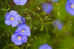 特写镜头蓝色胡麻在庭院里开花室外在晴天 图库摄影