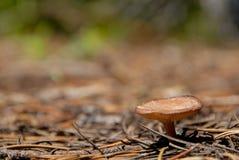 特写镜头蘑菇 免版税库存图片