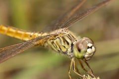 特写镜头蜻蜓面孔,宏观昆虫 免版税库存图片