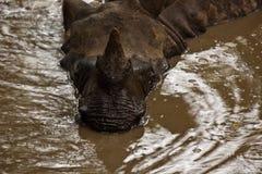 特写镜头表面犀牛rhinocerous unicornis 库存照片