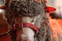 特写镜头被射击与在与棕色毛皮的面孔栓的一条红色传送带的一只绵羊 免版税库存图片