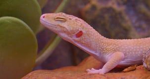 特写镜头被射击与是闭合的眼睛的白色白变种鬣鳞蜥镇静的在动物学玻璃容器慢慢地移动 影视素材