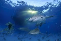 特写镜头被射击柠檬鲨鱼游泳在巴哈马的清楚的水域中 库存图片