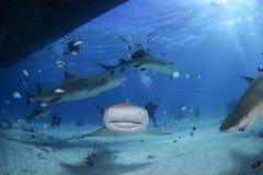 特写镜头被射击柠檬鲨鱼游泳在巴哈马的清楚的水域中 免版税图库摄影