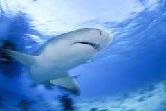 特写镜头被射击柠檬鲨鱼游泳在巴哈马的清楚的水域中 免版税库存照片