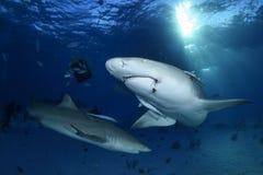 特写镜头被射击柠檬鲨鱼游泳在巴哈马的清楚的水域中 免版税库存图片