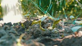 特写镜头被射击浇灌的黄瓜新芽 下跌在植物的下落 种田和农业 股票录像