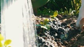 特写镜头被射击浇灌的黄瓜新芽 下跌在植物的下落 种田和农业 影视素材