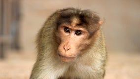 特写镜头被射击猴子 库存照片