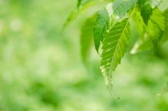 特写镜头被弄脏的绿色叶子背景在庭院里 免版税图库摄影
