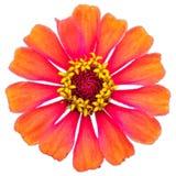 特写镜头被隔绝的橙色花 库存图片