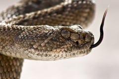 特写镜头西部菱纹背响尾蛇的响尾蛇 图库摄影