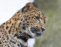特写镜头观点的一头幼小中国豹子 库存照片